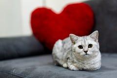 Eine nette kleine Katze, der Silbergetigerten katze des kurzen Haares schottische Falte, liegend auf dem schwarzen Sofa, das eine lizenzfreie stockfotografie