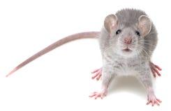 Eine nette kleine Maus Stockbild