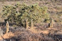 Eine nette meerkat Familie in der Wüste von Oudtshoorn, Südafrika Stockfoto