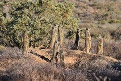 Eine nette meerkat Familie in der Wüste von Oudtshoorn, Südafrika Stockbilder