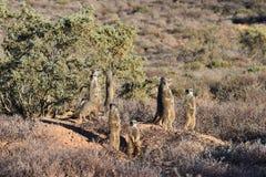 Eine nette meerkat Familie in der Wüste von Oudtshoorn, Südafrika Lizenzfreie Stockfotos