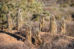 Eine nette meerkat Familie in der Wüste von Oudtshoorn, Südafrika Stockbild