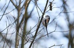 Eine nette Schwanzmeise Aegithalos-caudatus Jagd, damit Insekten an in einen Busch an einem kalten und eisigen Herbsttag einziehe Lizenzfreies Stockbild