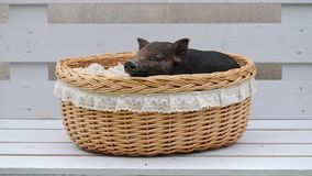 Eine nette Schweinlüge am Korb stock footage