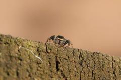 Eine nettes fencepost springende Spinne, Marpissa-muscosa, jagend auf einem Bretterzaun am Rand des Waldlandes lizenzfreies stockbild