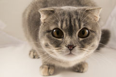 Eine neugierige graue gestreifte Katze, Makro Stockbilder