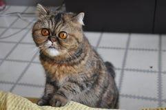 Eine neugierige persische Katze, die heraus seine Zunge haftet lizenzfreie stockbilder