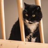 Eine neugierige Schwarzweiss-Katze, die vorsichtig von einer Galerie whatching ist lizenzfreie stockbilder
