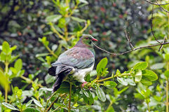 Eine Neuseeland-Taube in der Wildnis Stockbild