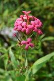 Eine nicht identifizierte rosa Blume, die Ixora-Blume ähnelt Lizenzfreies Stockfoto