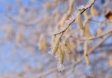 Eine Niederlassung der Haselnuss umfasst mit Frost am eisigen Morgen lizenzfreies stockbild