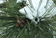 Eine Niederlassung der Kiefer im Schnee Lizenzfreie Stockfotos