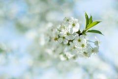 Eine Niederlassung der Kirschblüten Stockfotografie
