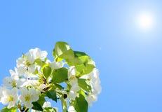 Eine Niederlassung des Apfels gegen den blauen Himmel Blühender Apfel Stockfotos