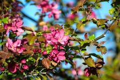 Eine Niederlassung des Apfels mit Blumen auf hellem blauem Himmel Lizenzfreies Stockfoto