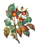 Eine Niederlassung des Hundrosafarbenen Briar mit roten Beeren und Grünblättern vektor abbildung