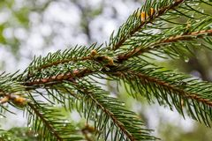 Eine Niederlassung des Nadelbaumbaums umfasst mit kleinem Wasser fällt lizenzfreies stockfoto