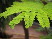 Eine Niederlassung des tropischen Baums stockfotos