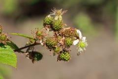 Eine Niederlassung einer blühenden Brombeere mit unausgereiften Beeren Stockfotografie