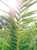 Eine Niederlassung einer Palmenahaufnahme Lizenzfreies Stockbild
