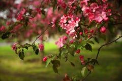 Eine Niederlassung eines Apfelbaums mit rosa Blumen stockfotografie