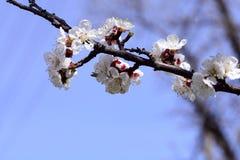 Eine Niederlassung eines Aprikosenbaums mit Blumen gegen den Himmel stockbild