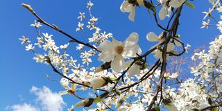 Eine Niederlassung mit schönen Blumen der Magnolie gegen den blauen Himmel lizenzfreies stockbild