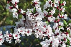 Eine Niederlassung von Kirschblüten Gerade ein geregnet Blumen der Kirschblüten an einem Frühlingstag Lizenzfreie Stockbilder