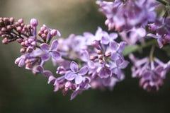 Eine Niederlassung von kleinen Blumen der purpurroten Flieder auf einem dunkelbraunen Hintergrund, Stockbilder