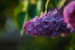 Eine Niederlassung von lila Blumen lizenzfreie stockbilder