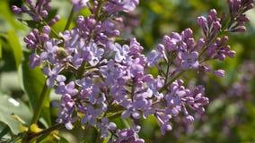 Eine Niederlassung von lila Frühlingsblumen stock video footage