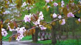 Eine Niederlassung von rosa Kirschblüte Wind im Park im Frühjahr beeinflussend stock video footage