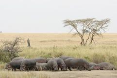 Eine Nilpferdfamilie lizenzfreies stockbild
