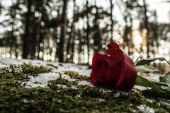 Eine Note einer Rose Stockbild