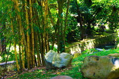 Eine Nut des gelben Bambusses nahe einem Abzugsgraben und Felsen Foto eingelassener Kebun Raya Bogor Indonesia Lizenzfreies Stockfoto