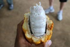 Eine offene Kakaofruchthülse stockbild
