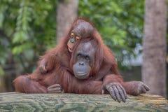 Eine Orang-Utan Mutter ` s Liebe Stockbild