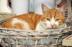 Eine orange erwachsene Cat Resting in einem Korb Stockfoto