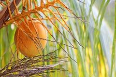 Eine orange Kokosnuss, die im Baum hängt Lizenzfreie Stockfotografie