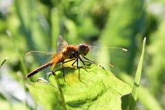 Eine orange Libelle auf einem Grashalm Lizenzfreies Stockbild