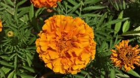 Eine orange Ringelblume im Großen Garten stock footage