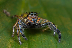 Eine orange und dunkle farbige springende Spinne Stockbild