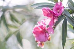 Eine Orchidee fand bei Rose Garden, Phetkasem, Thailand Stockbilder