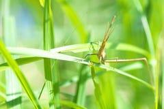 Eine orientalische langköpfige Heuschrecke im Gras Stockbild