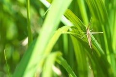 Eine orientalische langköpfige Heuschrecke im Gras Lizenzfreie Stockbilder