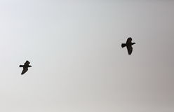 Eine Paaradlerfliege in den Himmel: Schwarzweiss-Hintergrund Stockbilder