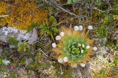 Eine paepalanthus Anlage mit Blumen im wilden Lizenzfreies Stockfoto