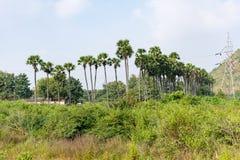 Eine Palme-Abschlussplantage in Folge, die Ackerland ehrfürchtig betrachtet Stockbilder