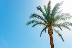 Eine Palme auf Hintergrund des blauen Himmels am sonnigen Tag ohne Wolken Stockbilder