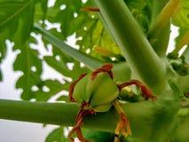 Eine Papaya in den Anfangsstadien lizenzfreies stockfoto